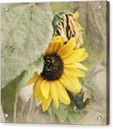 Last Sunflower Acrylic Print