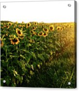 Sunset And Rows Of Sunflowers Acrylic Print