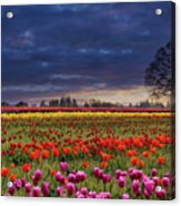 Sunset At Colorful Tulip Field Acrylic Print