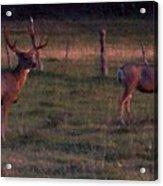 Sunset Deer II Acrylic Print