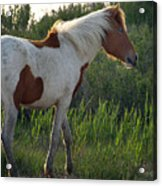 Sunset Filly Acrylic Print