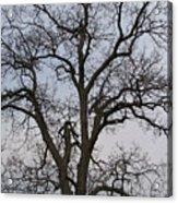Sunset Hickory Tree Acrylic Print