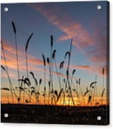Sunset In The Weeds Acrylic Print