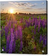 Sunset Over Meadow Of Lupine Acrylic Print