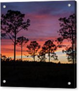 Sunset Pines Acrylic Print