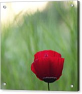 Sunset Poppy Acrylic Print by Julia Bridget Hayes