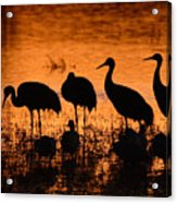 Sunset Reflections Of Cranes And Geese Acrylic Print