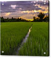 Sunset Rice Fields In Cambodia Acrylic Print