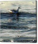 Sunset Swim Acrylic Print