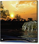 Sunset Zebras At The Watering Hole Acrylic Print