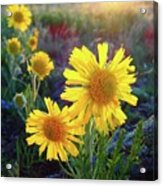 Sunsets And Sunflowers Of Buena Vista 2 Acrylic Print