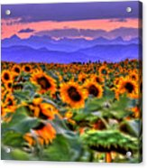 Sunsets And Sunflowers Acrylic Print