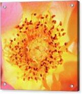 Sunshine - Hybrid Tea Rose - Macro Acrylic Print