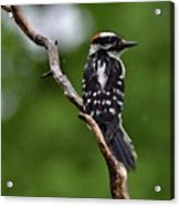 Sunshine Needed - Male Downy Woodpecker Acrylic Print