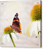 Sunshine On Red Admiral Acrylic Print