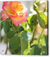 Sunshine Rose Acrylic Print