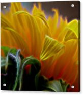 Sunshine Sunflower Petals Two Acrylic Print