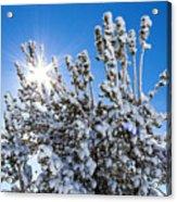 Sunshine Through Snow Covered Tree Acrylic Print