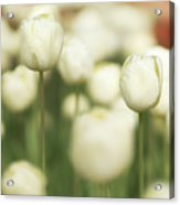 Sunsoaked Tulips #3 Acrylic Print