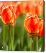 Sunsoaked Tulips #6 Acrylic Print