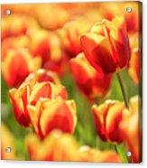 Sunsoaked Tulips #7 Acrylic Print