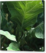 Super-fly Cabbage Acrylic Print
