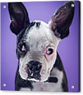 Super Pets Series 1 - Bugsy Close Up Acrylic Print