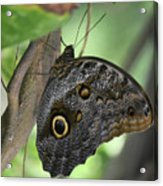 Superb Markings On An Owl Butterfly In A Garden Acrylic Print
