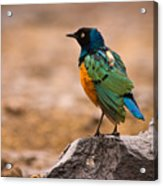 Superb Starling Acrylic Print by Adam Romanowicz