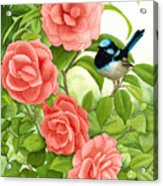 Superb Wren And Camellia Acrylic Print