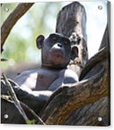 Superior Chimp Acrylic Print