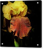 Supreme Sultan Iris  Acrylic Print