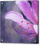 Suprise Lily Glimmer Acrylic Print