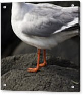 Suprised Australian Seagull Acrylic Print