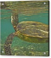 Surfacing Seaturtle Acrylic Print