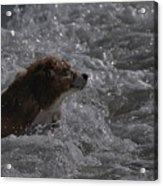 Surfer Dog 1 Acrylic Print