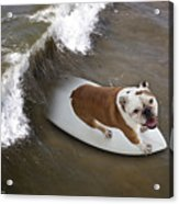 Surfer Dog Acrylic Print