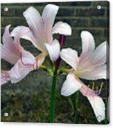 Surprise Lilies Acrylic Print