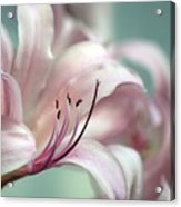 Surprise Lily Pink Acrylic Print
