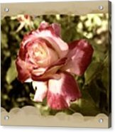 Surprise Rose Acrylic Print