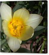 Surprising Sunny Tulip Acrylic Print