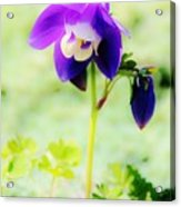 Surreal Columbine Acrylic Print