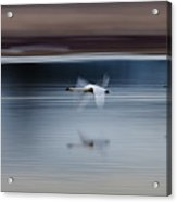 Surreal Swans Acrylic Print