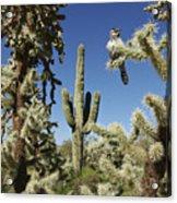 Surrounded Saguaro Cactus Wren Acrylic Print