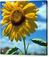 Sussex County Sunflower Acrylic Print