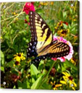 Swallow Tail Butterfly Enjoying The Sunshine Acrylic Print