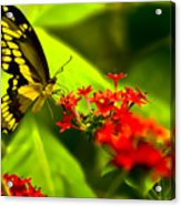 Swallow Tail Acrylic Print