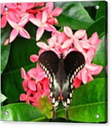 Swallow-wing Butterfly Acrylic Print