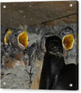 Swallows Opera  Acrylic Print