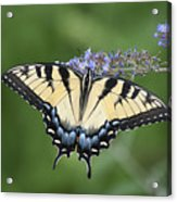 Swallowtail 20120723_24a Acrylic Print